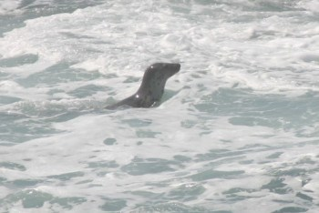 Surfing Seal at Godrevy Beach